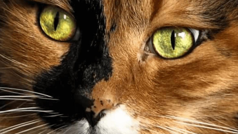 האם קיים קשר בין צבע החתול למינו?